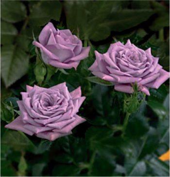 Щамбова роза