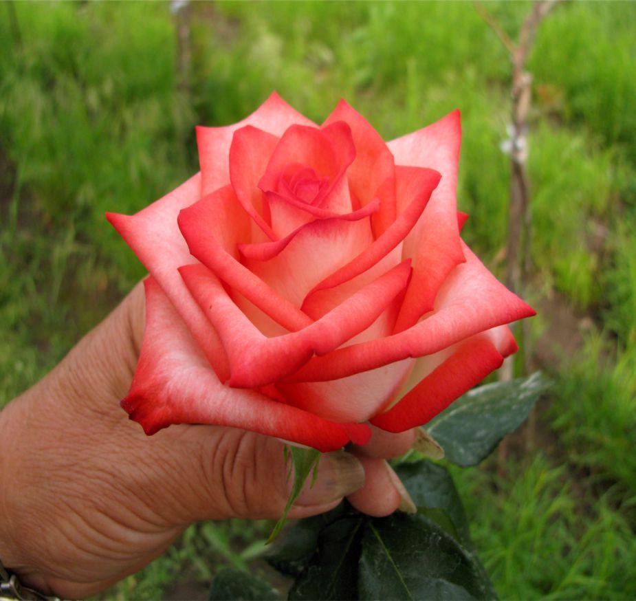 роза чаен хибрид