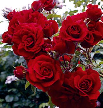 стелеща роза