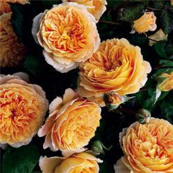 пълзящи рози