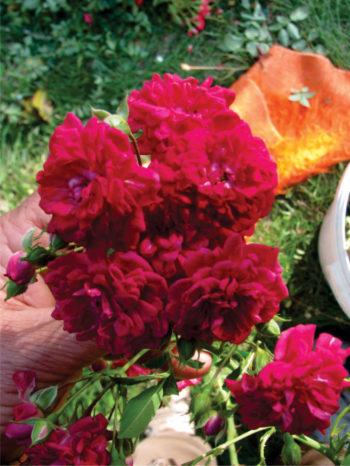 мини бордюрна роза