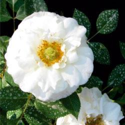 катерлива роза