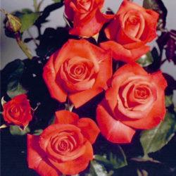 стелещи рози