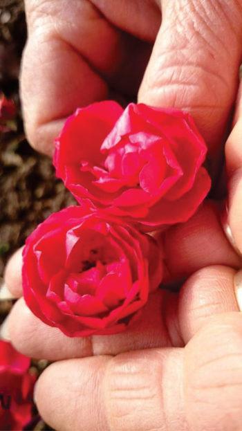 Мини рози