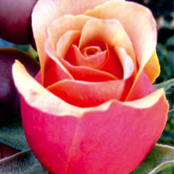 чайно хибридни рози