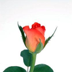 Рози - сорт Чаен хибрид