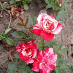 Мини бордюрни рози