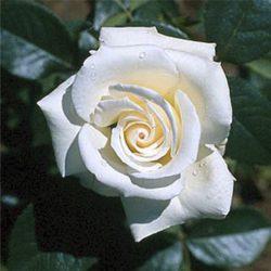 Влачещи рози